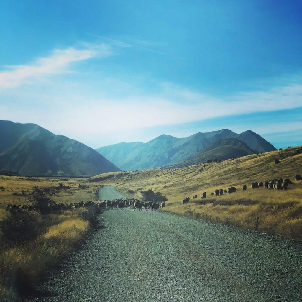 SHEEPS-NZ
