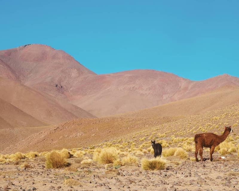 Desert avec lama en Bolivie