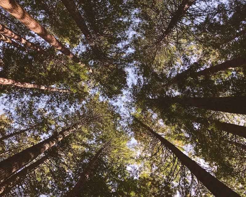 Foret Sequoia geant