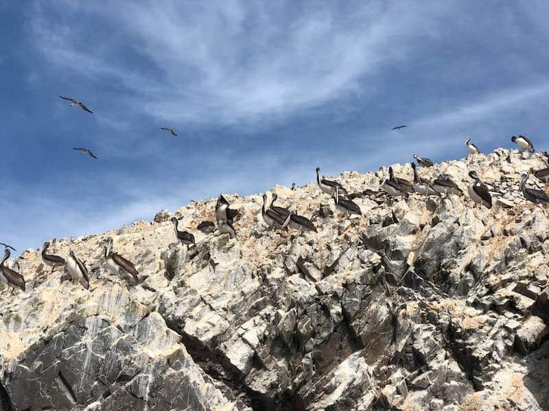 Oiseaux des iles Ballestas